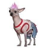 De punker kleedde Mexicaanse kale hond, 4 jaar oud stock foto