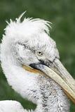 De punker van de pelikaan Royalty-vrije Stock Afbeeldingen