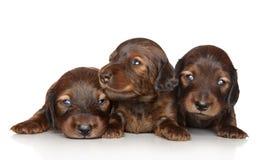 De puppy die van de tekkel op een witte achtergrond stellen Royalty-vrije Stock Foto