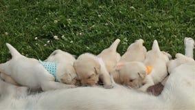 De puppy die van Labrador hard voor hun moeder` s melk werken stock video