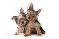 De Puppy die van Yorkshire Terrier op Witte Achtergrond zitten Royalty-vrije Stock Afbeelding