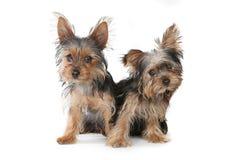 De Puppy die van Yorkshire Terrier op Witte Achtergrond zitten Stock Afbeelding