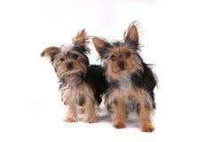 De Puppy die van Yorkshire Terrier op Witte Achtergrond zitten Royalty-vrije Stock Afbeeldingen