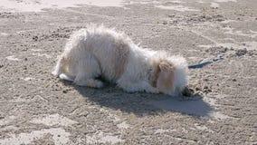 De puppy graven gaten op het strand, kijken de puppy vrolijk en pret stock videobeelden