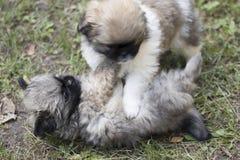 De puppy spelen in het gras Stock Foto