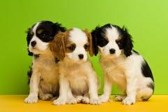 De puppy van Charles Spaniel van de koning Stock Fotografie