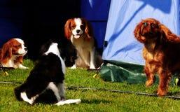 De puppy van Charles van de koning Royalty-vrije Stock Afbeelding