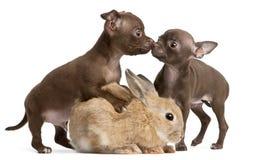 De puppy van Chihuahua, 10 weken oud, en konijn Stock Afbeeldingen