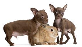 De puppy van Chihuahua, 10 weken oud, en konijn Stock Foto