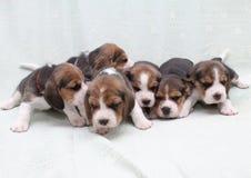De puppy van de brak Royalty-vrije Stock Foto