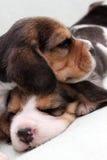 De puppy van de brak Stock Fotografie
