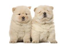 De puppy van de chow-chow stock foto
