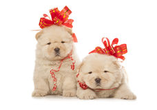 De puppy van de chow-chow met grote rode bogen Royalty-vrije Stock Afbeelding