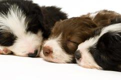 De Puppy van de Collie van de grens Stock Afbeeldingen