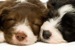 De Puppy van de Collie van de grens Stock Foto