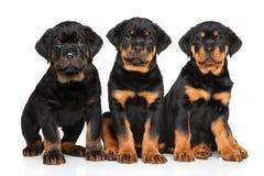De puppy van de Rottweilerhond Royalty-vrije Stock Afbeeldingen