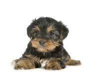 De Puppy van de Terriër van Yorkshire (1 maand) Stock Foto