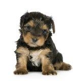 De Puppy van de Terriër van Yorkshire (1 maand) Royalty-vrije Stock Fotografie