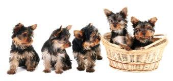 De puppy van de Terriër van Yorkshire in een rij Stock Foto