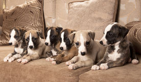 De puppy van de whippet Stock Foto's