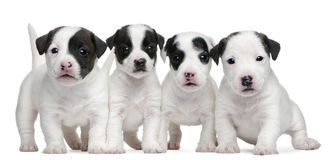 De puppy van Jack Russell Terrier, 5 weken oud Royalty-vrije Stock Foto