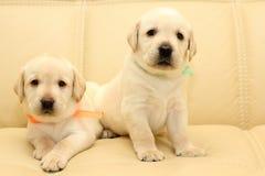 De puppy van Labrador Royalty-vrije Stock Afbeeldingen