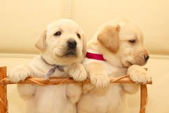 De puppy van Labrador Stock Afbeelding