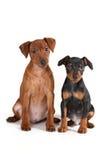 De puppy van Pinscher Royalty-vrije Stock Foto