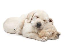 De puppy van slaaplabrador