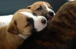 De puppy van Snuggling Royalty-vrije Stock Foto's