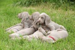 De puppy van Weimaranervorsterhund het liggen Royalty-vrije Stock Foto