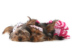 De Puppy van Yorkshire Terrier omhoog Gekleed in Roze Stock Foto