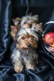 De puppy van Yorkshire Terrier op een donkere achtergrond Royalty-vrije Stock Afbeeldingen