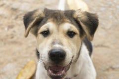 De puppy zijn bruin, wit, zwart haar, zwarte neus, bruine ogen stock fotografie
