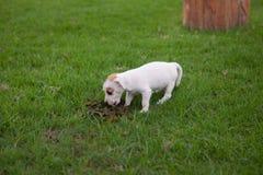 De puppyhond eet dierlijke faecaliën stock foto