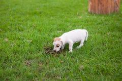 De puppyhond eet dierlijke faecaliën stock afbeeldingen