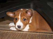 De puppyhuiden royalty-vrije stock foto