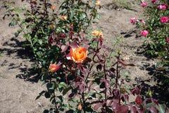 De purper-leaved tuin nam met oranje bloem toe Royalty-vrije Stock Fotografie
