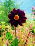 De purperachtige de Bloem van Shoking roze het welkom heten lente stock foto's