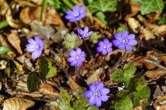De purpere bloei van anemoonhepatica in bos Stock Foto