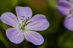 De purpere bloem van Beautifull in wildernis Stock Afbeelding