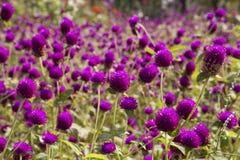 De purpere bloem van de Bolamarant royalty-vrije stock afbeeldingen