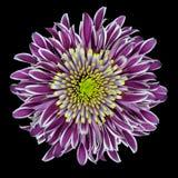 De purpere Bloem van de Chrysant die op Wit wordt geïsoleerdt royalty-vrije stock fotografie