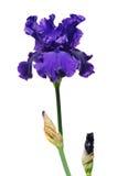 De purpere Bloem van de Iris Royalty-vrije Stock Afbeelding