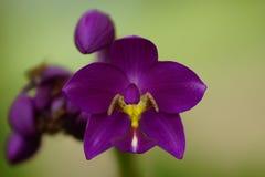 De purpere Bloem van de Orchidee Stock Afbeelding