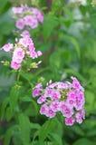 De purpere bloem van de zomer Royalty-vrije Stock Afbeeldingen