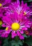 De purpere bloem van het chrysantenmadeliefje Stock Foto
