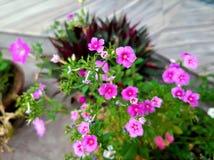 De purpere Bloemblaadjes van de Bloem stock fotografie