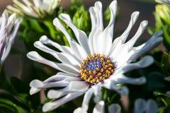 De purpere bloemblaadjes van de kamillebloem in zonnestraal stock fotografie