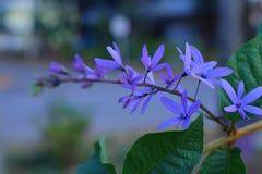De purpere bloembossen neigen tegelijkertijd te bloeien en te bloeien De bloemen zijn vrij bloeiend en zullen voor vele dagen blo royalty-vrije stock foto's